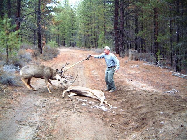 2 Nice Bucks Locked Antlers