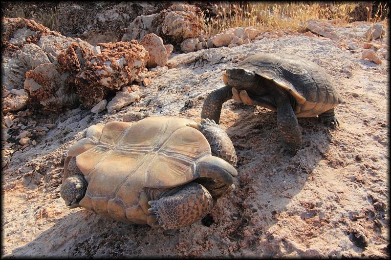 how to make a desert tortoise habitat