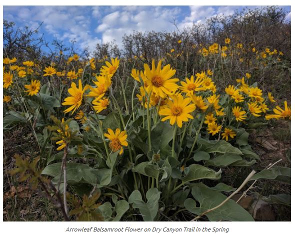 Name:  Dry_Canyon_Lindon_Yellow_Aroowroot_Flowers_ShaunasAdventures.JPG